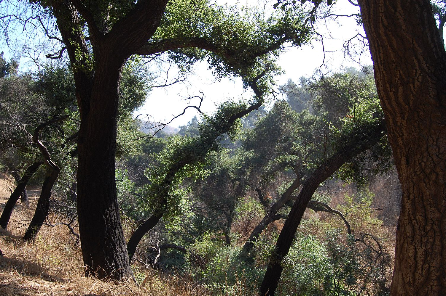 55374-Chino Hills State Park oak trees.jpg
